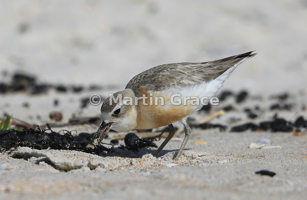 North Island subspecies of New Zealand Dotterel (Charadrius obscurus aquilonius) with a Sandhopper (Bellorchestia quoyana) in...
