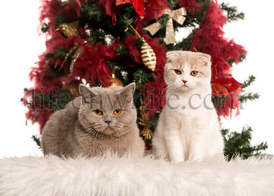 British Shorthair and a Scottish Fold kitten