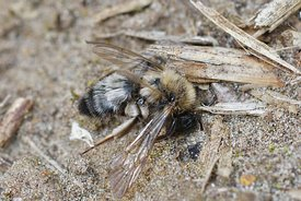 Closeup of a death female of the endangered Dawn bee, Andrena nycthemera