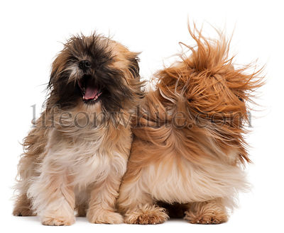 Group of Shih-Tzu in the wind