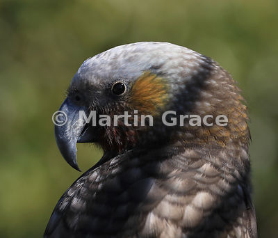 Close-up of a South Island & Stewart Island Kaka (Nestor meridionalis ssp meridionalis) with a diagonal shadow passing across...