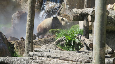 Panda-Zooparc-de-Beauval_Mir-Photo-ADT41_(4)