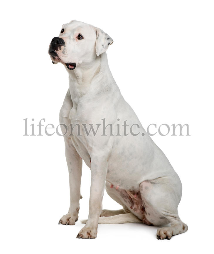 Argentine dogo, sitting in front of white background, studio shot