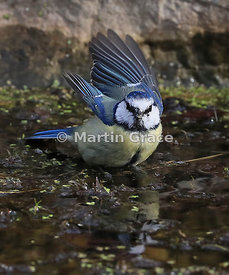 European Blue Tit (Cyanistes caeruleus) about to take off from the surface of the garden pond, Lake District National Park, C...