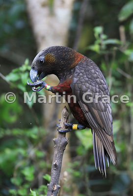 Colour-ringed (-banded) North Island Kaka (Nestor meridionalis ssp septentrionalis) eating provided food, Zealandia, Wellingt...