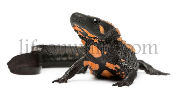 Laos Warty Newt, Paramesotriton laoensis, in front of white background