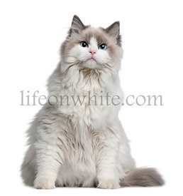 Ragdoll cat, 7 months old, sitting in front of white background