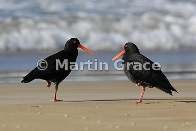 Two Dark morph Variable Oystercatchers (Black Oystercatcher) (Haematopus unicolor) facing each other while standing on one le...