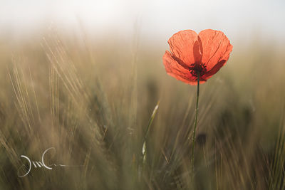 Poppy flower in winter-barley field. Fleur de coquelicot dans un champ d'escourgeon