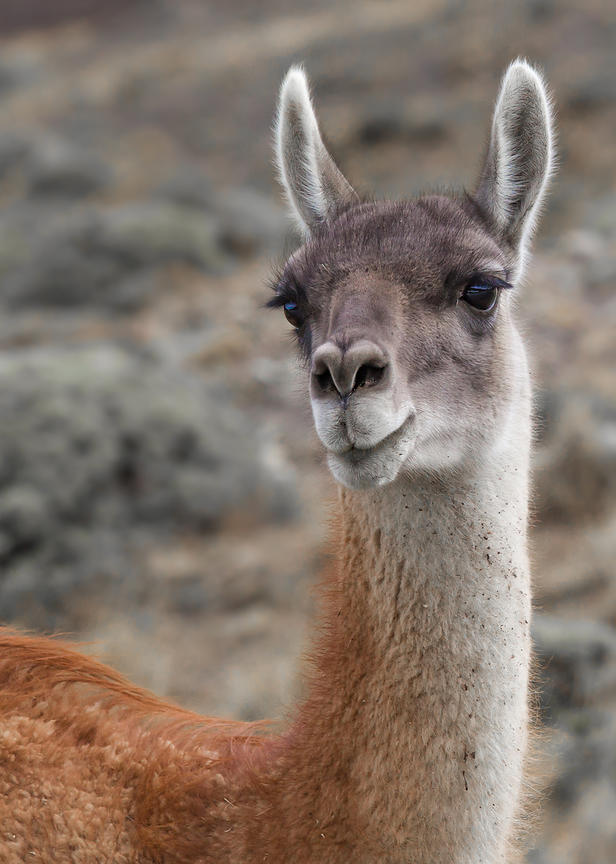 Portrait of an inquisitive guanaco llama in Torres del Paine National Park, Chilean Patagonia.