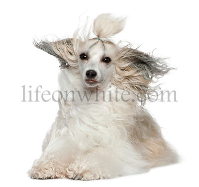Chinese Crested Dog with hair in the wind, 2 years old