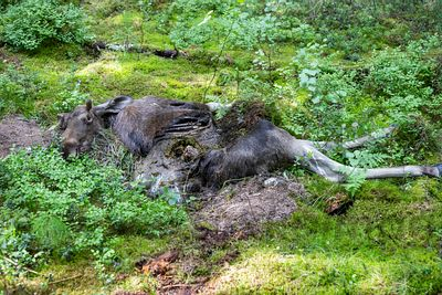 Moose/Elk killed by wolves