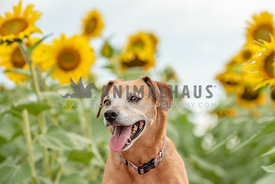 close up head shot of older terrier in sunflower field