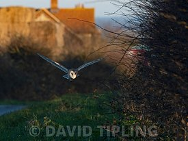 Barn Owl, Tyto alba hunting along roadside verge North Norfolk, winter