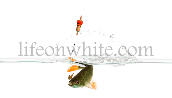 Common roach under water caught on a hook, struggling, Rutilus rutilus, isolated on white