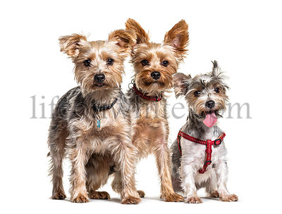 Group of Yorkshire Terrier dogs sitting in a row