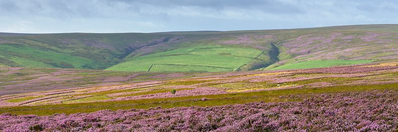 Prints & Stock Image - Heather Moorland, Lammermuir Hills, Scottish Borders, Scotland.
