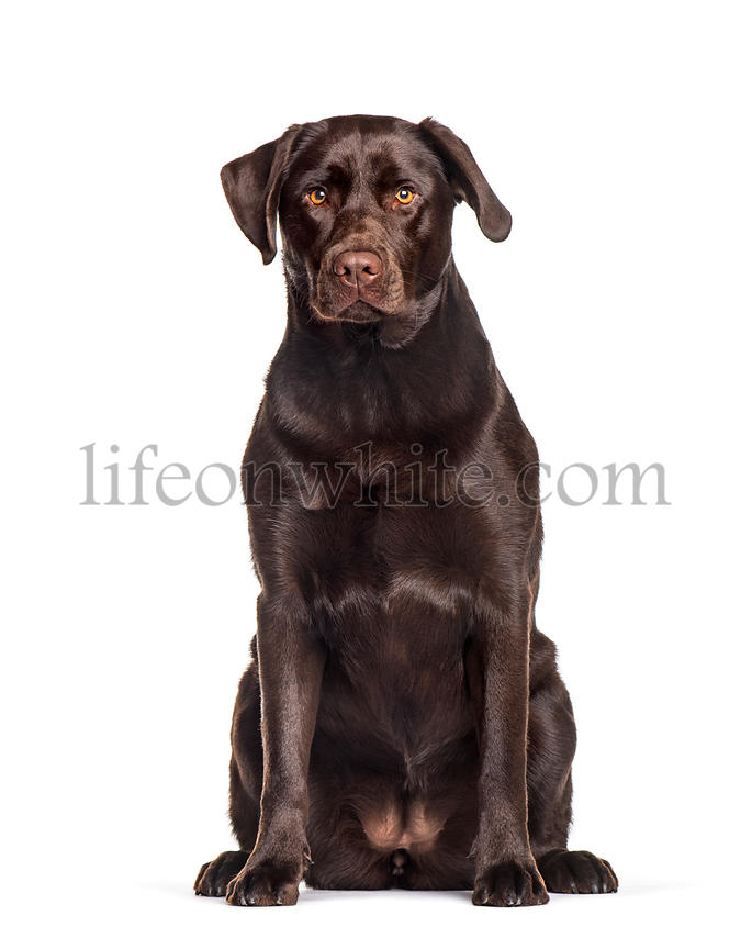 Labrador sitting against white background