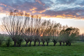 A row pollard willows at sunset