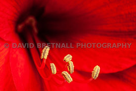 Amaryllis Pollen and Curved Stamens 4