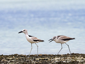 Crab plover (Dromas ardeola) juvenile begging for food from adult, on St Francois Atoll Seychelles, December