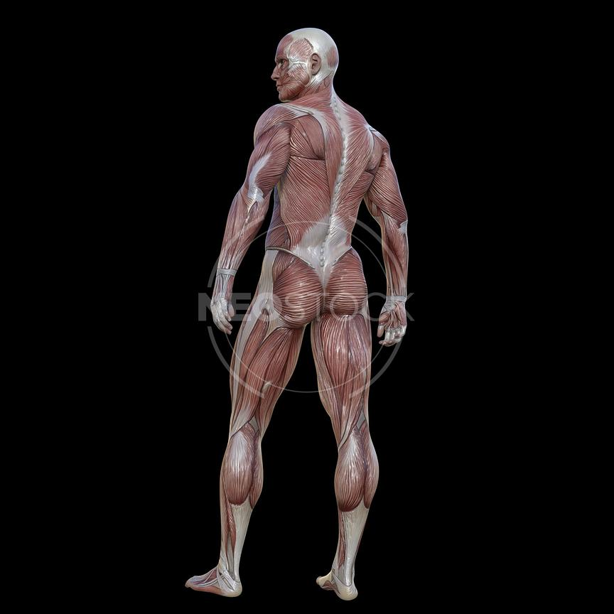 cg-body-pack-male-muscle-map-neostock-18