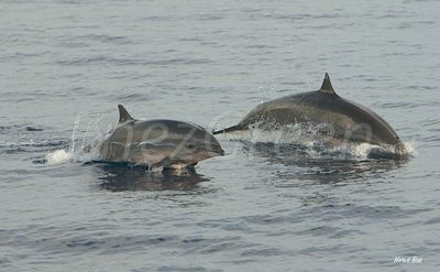 Dominica dolphins watching