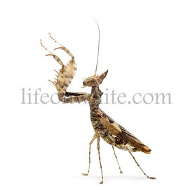 Female praying mantis, Ceratomantis saussurii, isolated on white