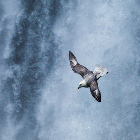 Fulmar_in_front_of_waterfall_in_Iceland_emm.is