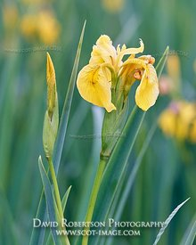Image - Yellow iris, Iris pseudacorus. Claggain Bay, Isle of Islay, Argyll, Scotland