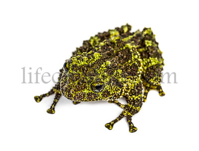 Top view of a Mossy frog, Theloderma corticale, isolated on white