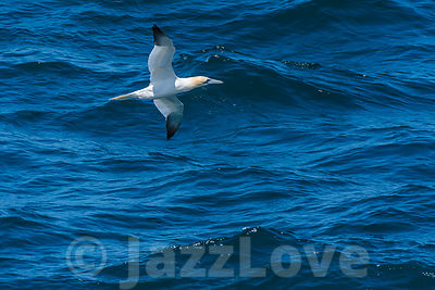 Gannet flying low over sea surface