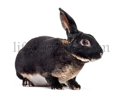 rex rabbit sitting against white background