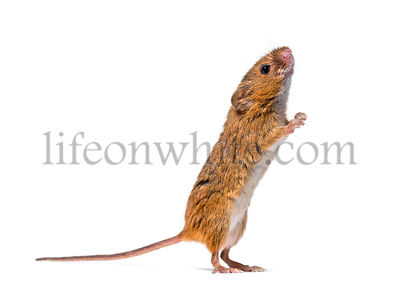 Eurasian harvest mouse, Micromys minutus, looking up in front of white background