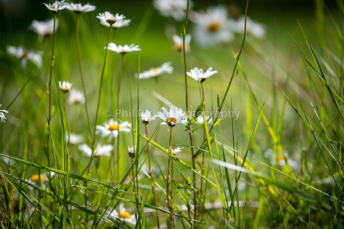 Ox eye daisy growing amongst long grass.