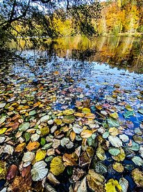 Dead Fallen leaves floating at the surface of the water