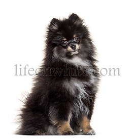 Sitting Pomeranian, isolated on white