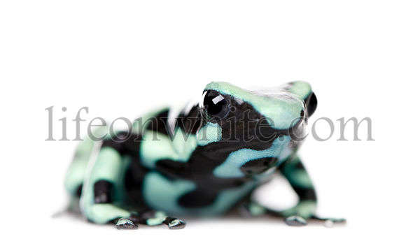 Green and Black Poison Dart Frog, Dendrobates auratus, against white background, studio shot