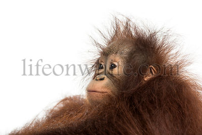 Close-up of a young Bornean orangutan\'s profile, looking away, Pongo pygmaeus, 18 months old, isolated on white