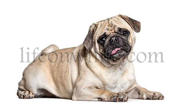 Lazy lying Pug, isolated on white