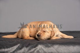 newborn golden retriever puppy sleeping on dark grey blanket