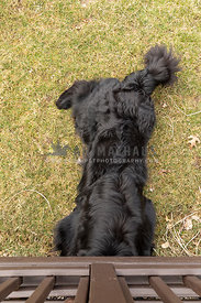 A newfoundland dog with his head under the deck