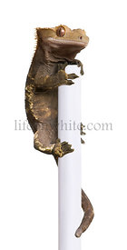 New Caledonian Crested Gecko, Rhacodactylus ciliatus climbing pole in front of white background
