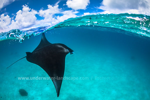 A reef manta ray in Mayotte