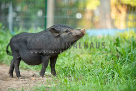 black pot belly pig close up standing in grass