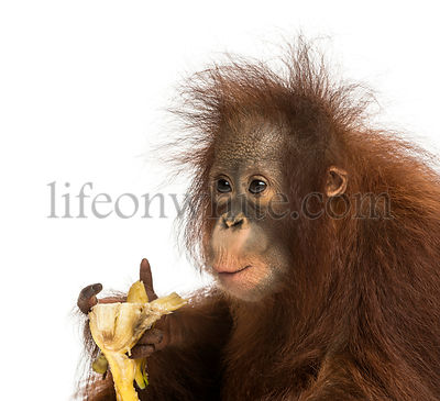 Close-up of a young Bornean orangutan eating a banana, Pongo pygmaeus, 18 months old, isolated on white