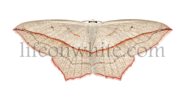 Blood-vein moth, Timandra comae, in front of white background