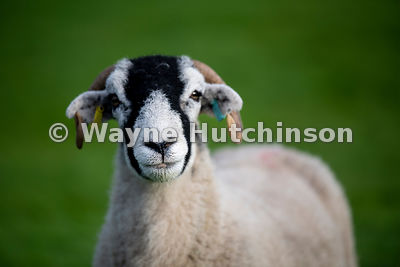 Swaledale ewe in pasture ready for a livestock show. North Yorkshire, UK.
