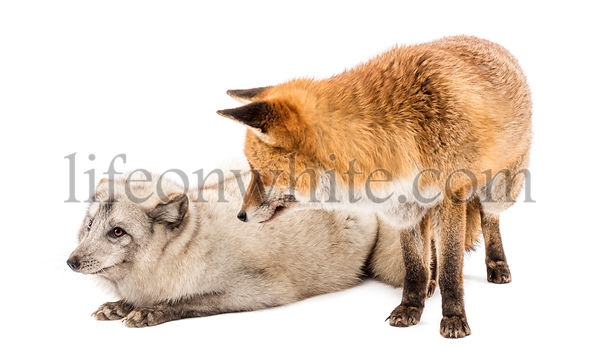 Red Fox, Vulpes vulpes, standing and Arctic Fox, Vulpes lagopus, lying, looking at each other, isolated on white