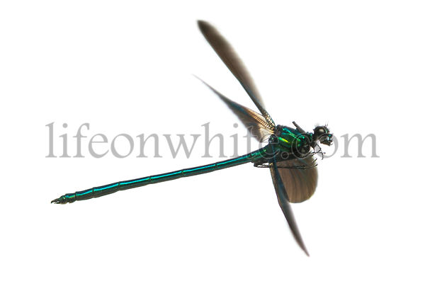 Side view of a Beautiful Demoiselle flying, Calopteryx virgo, isolated on white